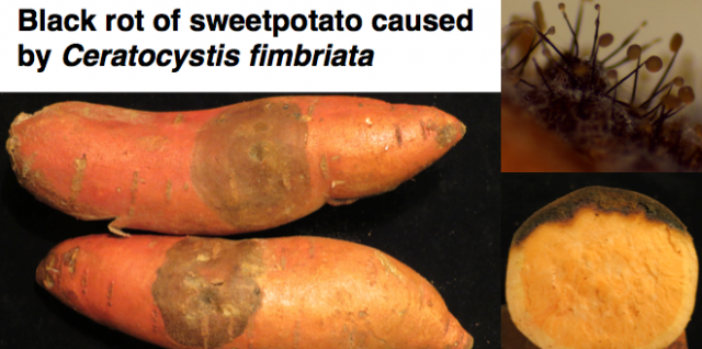 Sweetpotato Black Rot